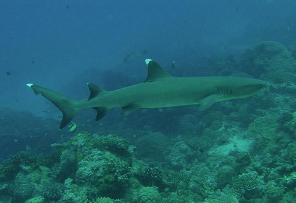 Rekin białogrzbietek