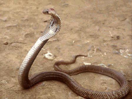 Kobra królewska