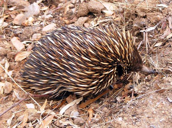 Kolczatka australijska