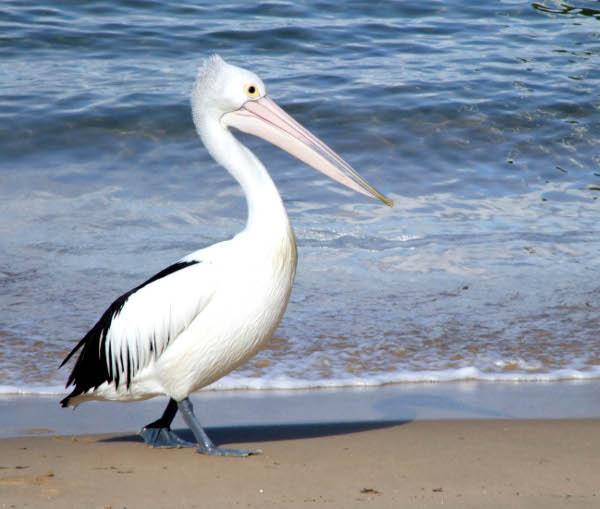 Pelikan australijski