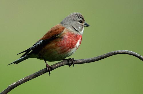 Makolągwa - samiec