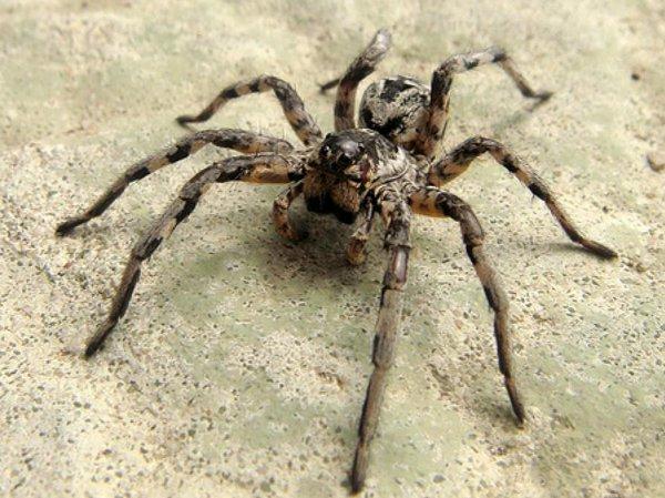 Tarantula włoska