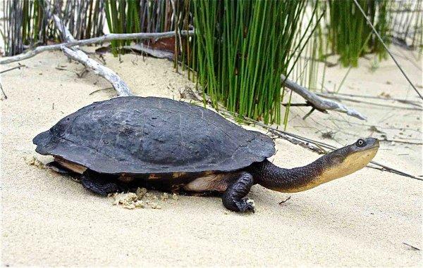 Żółw wężoszyi