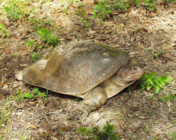 Żółwiak drapieżny