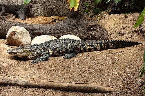 Krokodyl meksykański