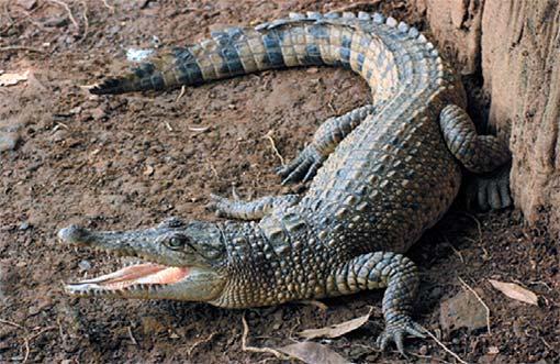 Krokodyl nowogwinejski