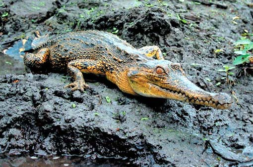 Krokodyl wąskopyski