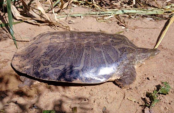 Żółwiak wąskogłowy
