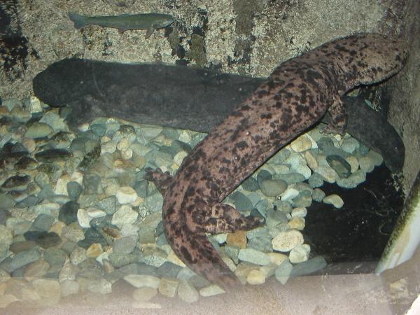 Salamandra olbrzymia japońska