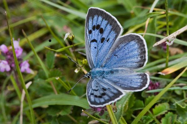 Modraszek arion