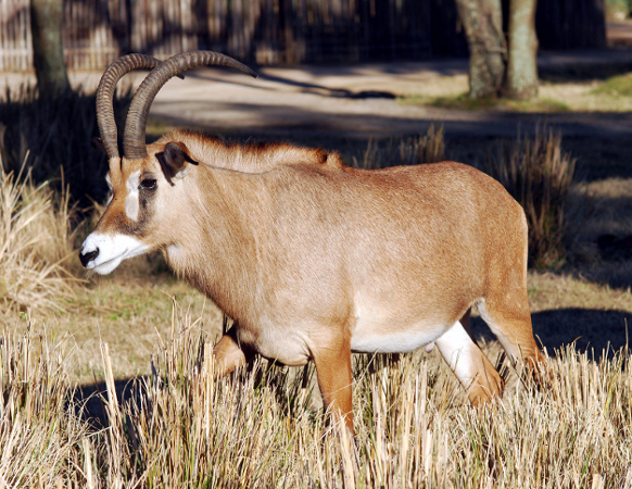 Antylopa końska