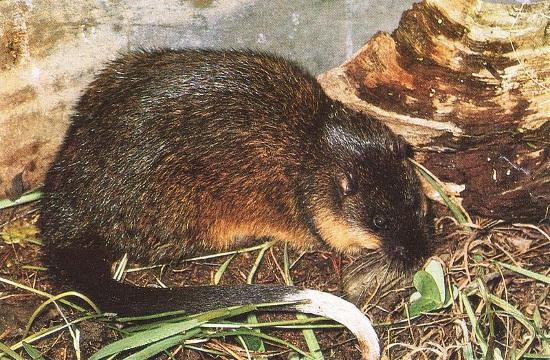 Bobroszczur