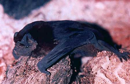 Molos czarniawiec