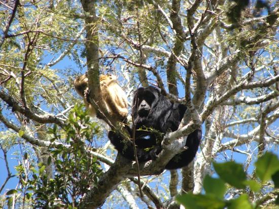 Wyjec czarny (samiec - czarny, samica - oliwkowożółta)