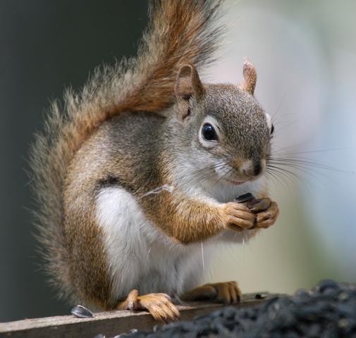 Amerykańska wiewiórka czerwona