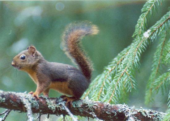 Wiewiórka czikari