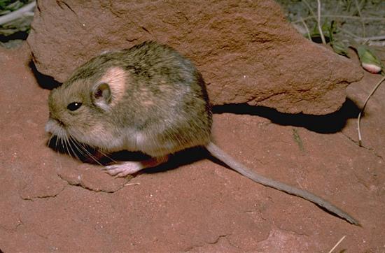 Szczuroskocznik jedwabisty