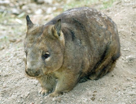 Wombat szerokogłowy