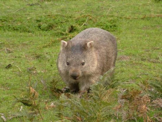 Wombat tasmański