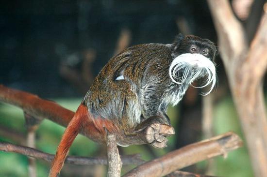 Tamaryna wąsata