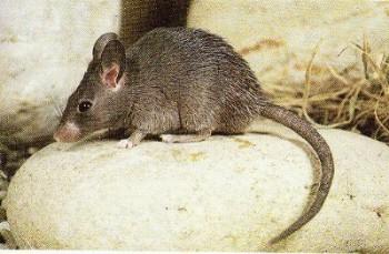 Mysz kreteńska