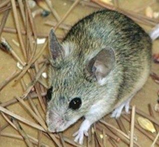 Mysz cypryjska