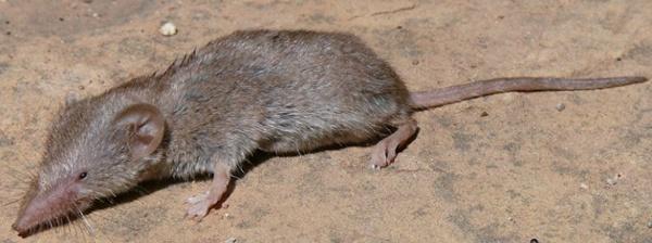 Zębiełek myszaty