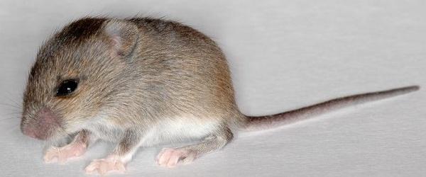 Mysz zielna