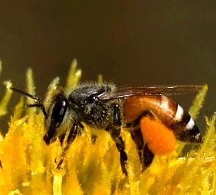 Pszczoła karłowata