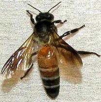 Pszczoła olbrzymia